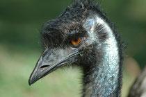 Der Emu erreicht eine Körperhöhe zwischen 150 - 190 cm. Er gilt inoffiziell als der Nationalvogel Australiens. Gemeinsam mit dem Roten Riesenkänguru erscheint er als einer der Schildträger auf dem Wappen Australiens und auf der 50-Cent-Münze.