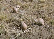 Eine der Hauptattraktionen des Parks sind Wildtierbeobachtungen. Man kann dort auf Präriehunde treffen, aber auch auf grössere Tiere wie Bisons, Wapitis, Dickhornschafe, Weisswedel- und Maultierhirsche, Wildpferde, Pumas, Kojoten und ca. 185 Vogelarten.