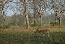 """Die Landschaft des Corbett NP ist durch breite Täler und Hügel charakterisiert. Hauptvegetationsform sind die Wälder des Salbaums (Shorea robusta), in höheren Lagen findet man auch Kiefernbestände. Im Tiefland sind Flusswälder und Grasflächen (""""Chaurs"""")."""