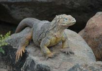 """Vor dem Flughafen Baltra stehen einige typische Tiere der Galapagos aus Plastik. Ich betrachtete diesen Landleguan, weil mir schien, es sei sehr lebensecht gestaltet. Der Irrtum klärte sich auf, als die """"Plastik"""" den Kopf wendete und mit dem Auge blinzelt"""