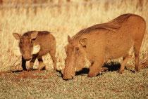 Warzenschweine (Phacochoerus africanus) ruhen in der Nacht mit Vorliebe in den Höhlen der Erdferkel. So nehmen sie immer ein wenig die Farbe der Erde ihres Lebensraums an (in Zimbabwe rot-braun). Man beachte die ungewöhnlichen, weissen Barthaare.