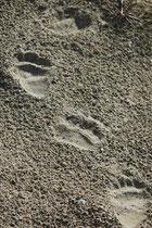 Noch einmal die markanten Spuren des Lippenbären. Leider gelten die Bestände der zu Unrecht als aggressiv bezeichnete Bärenart in manchen Teilen ihres Verbreitungsgebietes (Indischer Subkontinent) als gefährdet (Bejagung, Verlust des Lebensraumes).