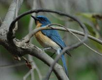 Der Tickell Blauschnäpper (Cyornis tickelliae) ist nur ca. 11-12 cm lang. Er ist ein Insektenfresser in dichtem Busch- und Waldhabitat. Sein Name erinnert an den englischen Ornithologen Samuel Tickell, der im 19. Jahrh. Vögel in Indien und Burma sammelte.
