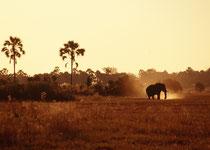 Als unsere Guides diesen Elefanten im Licht der untergehenden Sonne sahen, gaben sie, sehr besorgt, den Befehl, ruhig und geordnet, aber möglichst rasch die nächste Deckung aufzusuchen, handle es sich doch um einen – reizbaren - Elefantenbullen in Musth.
