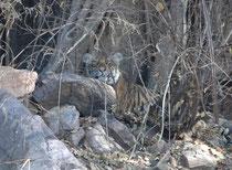 Nachmittag des 5. April 2017. Wir hören einmal mehr den Warnruf eines Sambarhirsches und wissen, dass sich ein Tiger rechts von uns im Gebiet befindet. Plötzlich entdecken wir im felsigen  Gelände vis-à-vis von uns und gut versteckt ein Tigerjunges.