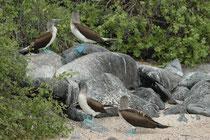 Unsere nächste Station war Punta Suarez auf Espanola. Auch dort begegneten wir den Blaufusstölpeln. Die Vögel brüten in Kolonien, aber Ihre Brutplätze liegen relativ weit auseinander. Die Eier werden übrigens mit den blauen Füssen ausgebrütet.