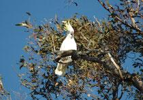 Auffälligstes Merkmal aller Kakadus ist die Federhaube, die je nach Erregungszustand flach angelegt oder weit gesträubt ist. Beim Gelbhaubenkakadu sind die Haubenfedern gelb, schmal und nach vorne gebogen.