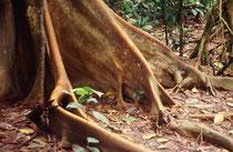 Blattwurzeln im Regenwald.