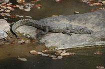 Wie der Bengalwaran ist auch das Sumpfkrokodil (Crocodylus palustris ) im Anhang I CITES aufgeführt. Tatsächlich ist die Art in Teilen des Verbreitungsgebietes weben Lebensraumverlust hoch bedroht. Weltweit gibt es nur noch ca, 8700 Exemplare.
