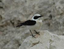 In der Umgebung des Dorfes Dana sahen wir auch mehrere Mittelmeersteinschmätzer (Oenanthe melanoleuca), hier ein Männchen. Die Art ist ein Langstreckenzieher und verbringt den Winter südlich der Sahara. Seine Brutgebiete liegen in der südlichen Paläarktis