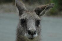 Bei der Abfahrt steckte dieses Östliche Graue Riesenkänguru fast den Kopf zum Fenster des Autos hinein…