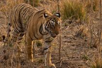 George Schaller hat gesagt, es sei an Indien, zu entscheiden, ob es den Tiger, dieses Naturerbe und nationale Symbol erhalten wolle, ein Erbe, das wichtiger sei, als alle Kulturstätten, inklusive des Taj Mahals, weil es unersetzbar ist (Bild Peter Vonwil)