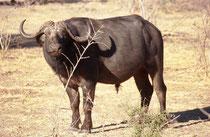 Ein prächtiger Büffelstier (Syncerus caffer) (Chobe NP). Die Tiere können eine Schulterhöhe von 110-170 cm, eine Körperlänge von bis zu 3,40 m und ein Gewicht bis zu 900 kg erreichen. Bullen sind etwas grösser und etwa doppelt so schwer wie die Weibchen.