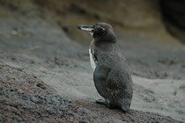 Der ca. 50 cm kleine Galapagospinguin (Spheniscus mendiculus) kommt weltweit nur auf den Galapagos-Inseln vor und ist mit ca. 1200 Individuen (Stand: 2004) die seltenste Pinguinart und leider vom Aussterben bedroht (Punta Cormorant, Floreana).