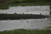 Zwischen Tilba und Batemans Bay sahen wir – bei regnerischer Witterung - in diesem Gewässer eine Schar von Australischen Königslöfflern (Platalea regia). Er ähnelt dem Eurasischen Löffler, hat aber keine gelbe Schnabelspitze und keine gelbliche Brust.