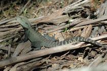 """Der ca. 100 km lange Croajingolong National Park entlang der östlichsten Küste Victorias ist ein Welt-Biosphären-Reservat. Dort sahen wir die Australische Wasseragame (Physignathus lesueurii) und zwar die Unterart P. l. howittii (""""Gippsland Water Dragon"""")"""