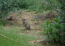 Das nachtaktive Proserpine Felsenkänguru (Petrogale persephone) hat das kleinste Verbreitungsgebiet aller Felskängurus (nur in der Nähe der Städte Proserpine und Airlie Beach [Queensland]) und ist stark gefährdet. (Warrawong Wildlife Sanctuary)