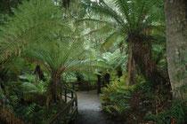 Im Grat Otway NP kann man über planvoll eingerichtete Stichpfade und Zugänge den Hauptpfad erreichen und wieder verlassen. So führt z.B. der Melba Gully Boardwalk (Holzsteg) an Farnbüschen des dunklen schattigen Regenwaldes vorbei.