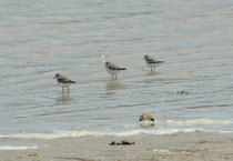 Der Coorong NP erstreckt sich über mehr als 130 km und enthält eine Reihe von Salzwasserlagunen, die gegen den Ozean durch die Sanddünen der Younghusband Halbinsel geschützt sind. Hier drei Limikolen (Art ?).