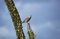 """Der bis zu 22 cm grosse Kaktuszaunkönig (""""Cactus Wren"""" [Campylorhynchus brunneicapillus]) kommt im SW der USA und in Mexiko vor. Er ist Arizonas Wappenvogel. Hauptlebensraum sind mit Kakteen bewachsene Wüstengebiete von SW USA und Nordmexiko."""