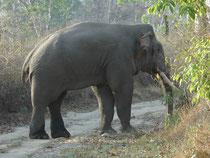 Plötzlich blieb er am Wegrand stehen und zupfte ein paar Gräser ab. Asiatische Elefanten erreichen eine Schulterhöhe von 2–3,50 m und ein Gewicht von 2.000–5.500 kg. Sie sind damit etwas kleiner als der Afrikanische Elefant, aber immer noch eindrücklich.