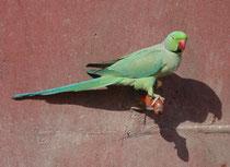 """Dieses Bild illustriert zwei Dinge: Erstens wird klar, warum der Indische Halsbandsittich (Psittacula krameri manillensis) englisch """"rose-ringed parakeet"""" heisst und zweitens zeigt der Vogel schön, wie er auch mit Zivilisationseinrichtungen zurechtkommt."""