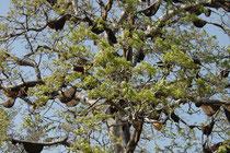 An diesem Baum hängen Dutzende von Bienennestern. Kein Wunder sahen wir häufig Tierarten, die sich hauptsächlich von Bienen und Wespen oder von Honig ernähren (z. B. Bienenfresser, Wespenbussard, Lippenbär).