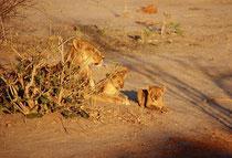 In der Nähe des Savuti Camps gibt es eine grosse Wasserstelle, an der die Tiere der Umgebung ihren Durst löschen. In der Abendsonne lag dort seelenruhig eine Löwin mit ihren Jungen, welche munter miteinander und mit ihrer Mutter spielten.