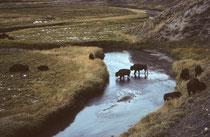 Uns schien die Herde aus mehreren Kleinfamilien zu bestehen, zusammengesetzt aus einem einzelnen Bullen, einigen Kühen und – gegebenenfalls – deren Kälbern. Ihre dumpfen Rufe waren die einzigen Laute, die man in der frühwinterlichen Landschaft vernahm.