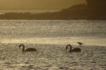 """Trauerschwäne, bzw. """"Schwarzschwäne"""" (Cygnus atratus) in der Nelson Bay, bzw. im Tomaree NP. Das natürliche Verbreitungsgebiet des Trauerschwans ist Australien und Tasmanien. In Europa kommen ausschliesslich ausgesetzte und verwilderte Trauerschwäne vor."""