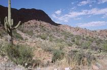 """Der Saguaro-Nationalpark in der Sonora-Wüste im SW der USA gilt als eine der schönsten und artenreichsten Regionen dieser Wüste. Eine herausragende Pflanze hat dem Park seinen Namen gegeben: der Kandelaberkaktus (Carnegiea gigantea) (engl. """"Saguaro"""")."""