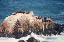 Mähnenrobben, auch Südamerikanische Seelöwen genannt (Otaria flavescens), auf einer kleinen, der Stadt Valparaiso vorgelagerten Insel im pazifischen Ozean.