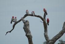 Wir sind in der Nähe von Cape Jervis, wieder auf dem Australischen Festland. Neben der Strasse haben sich ein paar Rosakakadus (Eolophus roseicapilla) niedergelassen. Wie alle Kakadus, hat auch diese Art eine kurze und nach hinten gerichtete Federhaube.