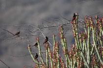 """Auf diesen Euphorbias (Euphorbia caducifolia) tummelt sich ein lebhafter Schwarm Haubenammer (Melophus lathami) engl. """"crested bunting"""" Die Art bevorzugt gebüschreiche und steinige offene Landschaften in Wassernähe, wo sie Sämereien und  Insekten frisst."""