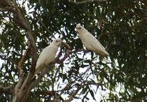Der 38 cm lange Nacktaugenkakadu (Cacatua sanguinea) ist ebenfalls eine in Australien häufige und weit verbreitete Papageienart und gilt manchmal sogar als Schädling. Seinen Namen hat er, weil die blauhäutige Augenumgebung unbefiedert ist (Foto S. Althaus