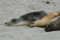 Männchen des Australischen Seelöwen werden bis zu 2,5 m lang und 300 kg schwer und sind dunkelbraun. Weibchen sind mit 1,8 m und 100 kg viel kleiner und sind silbergrau oder hellbraun und an der Unterseite leicht cremefarben bis gelblich.