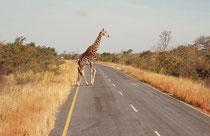 ...oder eine Giraffe entschliesst sich unmittelbar auf die gegenüberliegende Strassenseite zu wechseln. Leider wird nicht bei allen Tieren entsprechende Rücksicht genommen und die Zahl der überfahrenen - kleineren - Tiere am Strassenrand ist bedenklich.