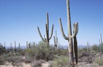 Die Hauptsprosse der Saguaros werden etwa 12 - 15 m (teilweise auch bis zu 20 m) gross und 30 bis 70 cm dick. Das Durchschnittsalter Carnegiea gigantea beträgt etwa 85 Jahre, (einzelne Exemplare können über 200 Jahre alt werden).