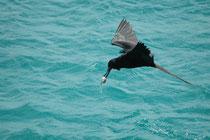 Ihren Namen haben diese Vögel, weil sie als Piraten der Lüfte gelten: Sie attackieren häufig andere Seevögel im Flug, bis diese ihren eben gemachten Fang hervorwürgen und dann fangen sie –wie hier - die fallen gelassene Beute bevor sie ins Meer fällt.
