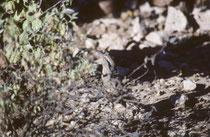 """Die Krummschnabel Spottdrossel (""""Curve-billed Thrasher"""" [Toxostoma curvirostre]) – ein Allesfresser - lebt im SW der USA und in Mexiko. Er ist etwa 25-28 cm lang und hat orangefarbige Augen und einen markanten sichelförmigen Schnabel."""
