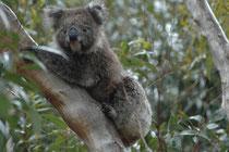 Koalas ernähren sich fast ausschließlich von Blättern und Rinde sowie Früchten ganz bestimmter Eukalyptusarten. In ganz Australien nutzen sie nur etwa 70 von den über 500 bekannten Eukalyptusarten (sie riechen die bekömmlichen mit ihrer feinen Nase).