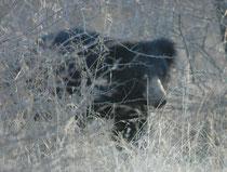 Der dem Kragenbären gleichende Lippenbär saugt die Termiten wie ein Staubsauger aus ihrem Bau heraus. Dazu helfen ihm die unbehaarten und ebenso wie die Zunge verlängerbaren Lippen, die verschliessbaren Nasenlöcher, und die fehlenden Schneidezähne.
