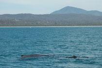"""Der Walfang in Eden wurde 1920 reduziert und 1930 beendet. Heute ist Eden bekannt für seine sehr attraktiven Walbeobachtungsexkurionen (""""Whalewatching""""). Es gibt sogar eine """"Walsichtungsgarantie"""": Wenn man keine Wale sieht, gibt es das Geld zurück."""
