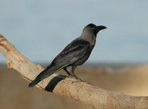 Nachdem wir Aqaba, die Hafenstadt am Roten Meer, erreicht hatten, machten wir eine Exkursion in den Stadtpark, wo uns die attraktivsten Vogelarten geradezu vor die Füsse flatterten. Hier eine Glanzkrähe (Corvus splendens) mit ihrem glänzenden Gefieder.