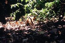 Mit einer Kopf-Rumpf-Länge von 45 – 70 cm gehört der Nasenbär, hier vermutlich ein Weissrüssel-Nasenbär (Nasua narica) zur Familie der Kleinbären. Dieser Waldbewohner näherte sich uns am hellichten Tag sehr zutraulich. (Carara Biological Reserve).