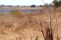 Der Chobe National Park ist auch bekannt für seine grossen Büffelherden (Syncerus caffer). Auch diese kommen natürlich zum Flussufer, um zu trinken und belasten die Landschaft zusätzlich. Hier rennt eine Herde kurz weg und erzeugt sogleich eine Staubwolke