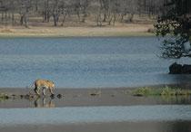 In 30 Jahren wurden jedoch allein in Indien 30'000 Tiger getötet. 1972 wurden landesweit nur noch 1827 Individuen gezählt. Der Tiger hat in der Tat unter dem Menschen schwer gelitten. 1970 endlich wurde der Abschuss von Bengaltigern gesetzlich verboten.