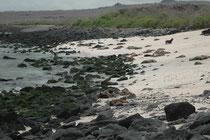 Der Strand von Punta Suarez. Es fällt schwer, die Lavasteine und die Galapagos-Seelöwen auseinanderzuhalten...