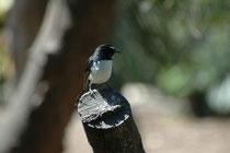 Der Gartenfächerschwanz (Rhipidura leucophrys), einer der bekanntesten Vögel Australiens (hier Adelaide). Er frisst kleine Wirbellose, die er am Boden sucht (auch in der Nähe von Viehherden). Dabei bewegt er den gefächerten Schwanz auffällig hin und her.