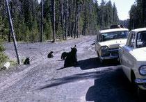 Es warteten aber nicht nur erwachsene Bären auf Futter aus den vorbeifahrenden Autos, sondern, wie hier, auch. eine Schwarzbärenmutter (Ursus americanus) mit ihren Kindern. Das barg natürlich ein beachtliches Konflikt- und Gefahrenpotential.